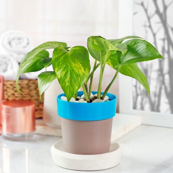 Money Plant in Plastic Planter