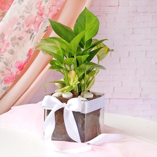 Money Plant In Square Glass Vase