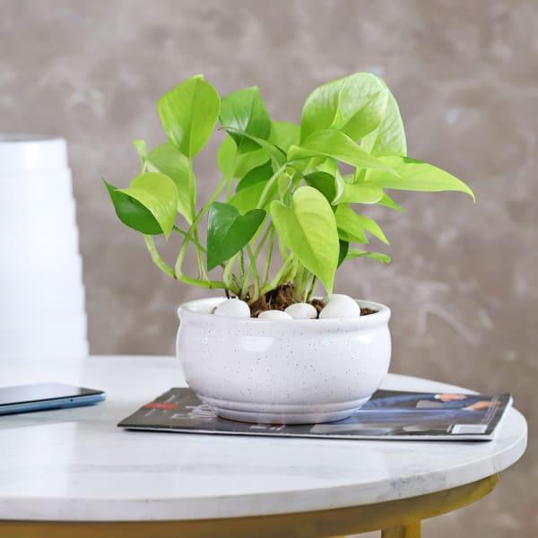 Money Plant in White Ceramic Planter