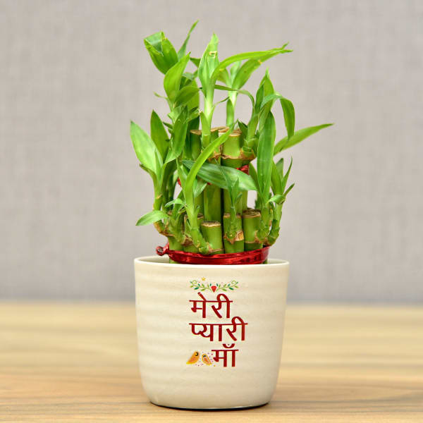 Mothers Day Special Two Layer Lucky Bamboo In Ceramic Pot (Moderate Sunlight/Less Water)