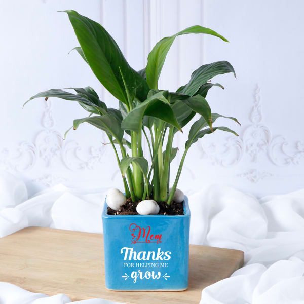 Peace Lily Plant In Blue Ceramic Planter for Mom