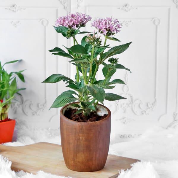 Pentas Flower Plant in Ceramic Planter
