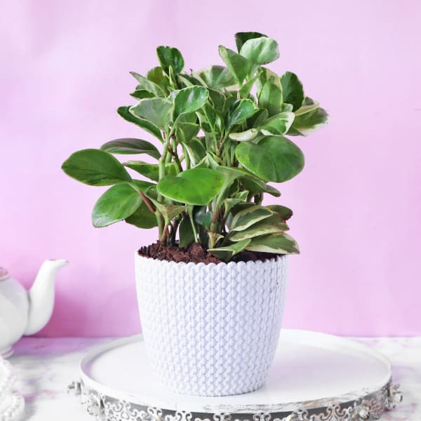 Peperomia Plant in Textured Plastic Planter