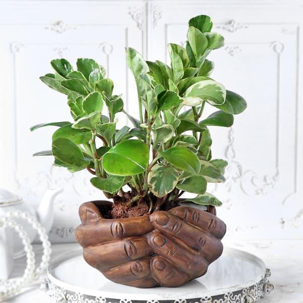 Peperomia Plant with Hand Designer Ceramic Planter