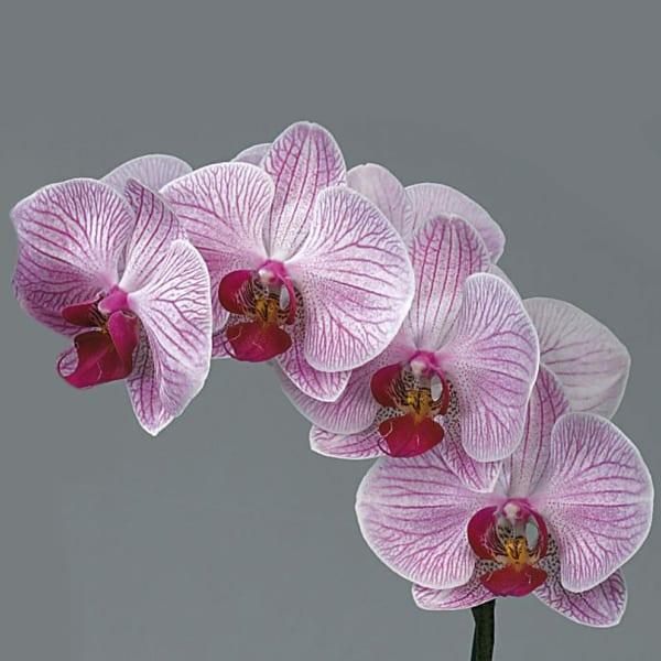 Phalaenopsis Shanghai (per Stem)