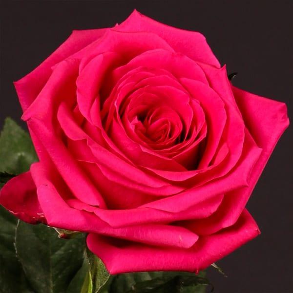 Rose Adamma (Bunch of 20)