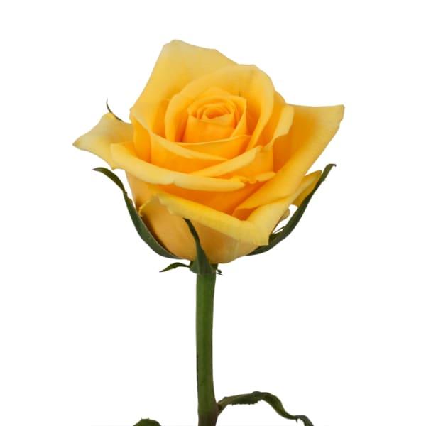 Rose Gold Strike (Bunch of 20)