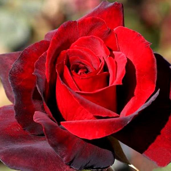 Rose Madonna (Bunch of 20)