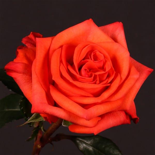 Rose Naranga (Bunch of 20)