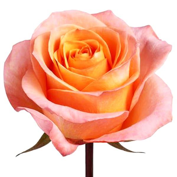 Rose Peachy Kisses (Bunch of 20)