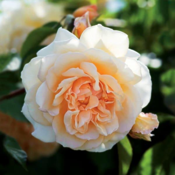 Rose Pigaso (Bunch of 20)
