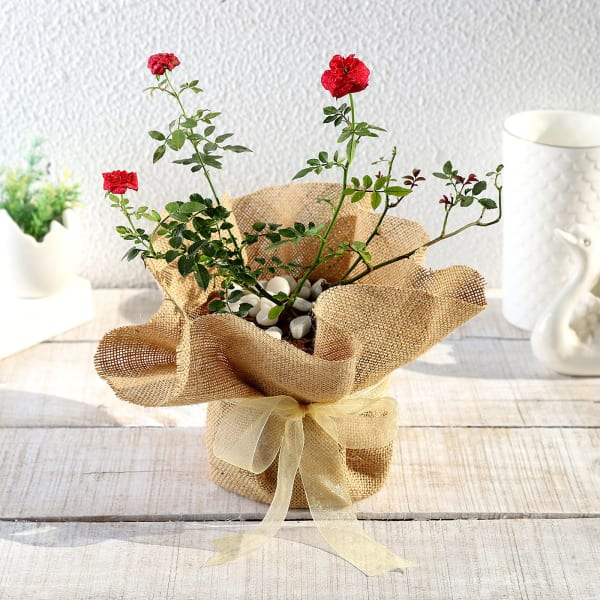 Rose Plant in Jute Wrapping with Plastic Planter