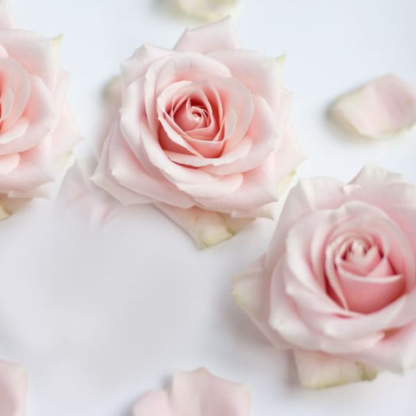 Rose Sweet Avalanche (Bunch of 20)