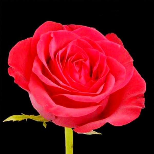 Rose Top Secret (Bunch of 20)