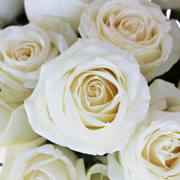 Rose White Avalanche (Bunch of 20)