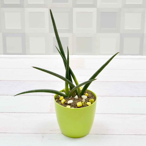 Sansevieria Air Purifying Plant (Mild Light/Moderate Water)