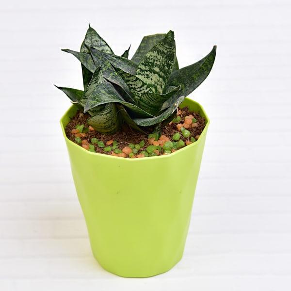 Sansevieria Dwarf Laurentii Plant in a Long Pot(Mild Light/Moderate Water)