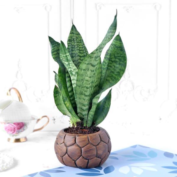 Snake Plant in Football Designer Ceramic Planter