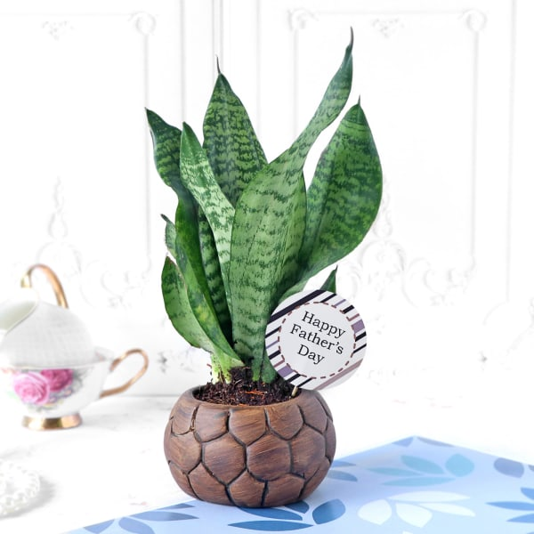Snake Plant in Football-Shaped Planter for Father's Day
