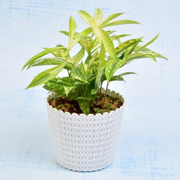 Splendid Dracaena Golden Milky Plant (More Light/More Water)