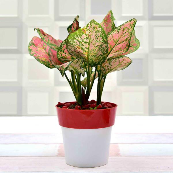 Stunning Red Aglaonema Auspicious Plant