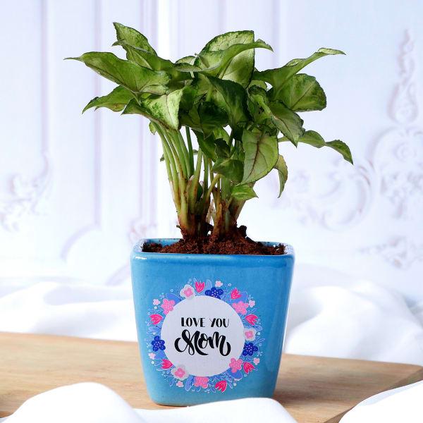 Syngonium Plant For Mom In Blue Ceramic Planter
