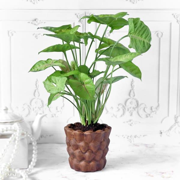 Syngonium Plant in Ceramic Pineapple Designer Planter