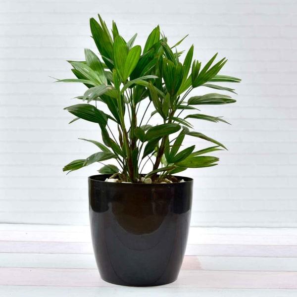 The Broadleaf Rhapis Lady Palm Plant (Moderate light/Moderate Water)