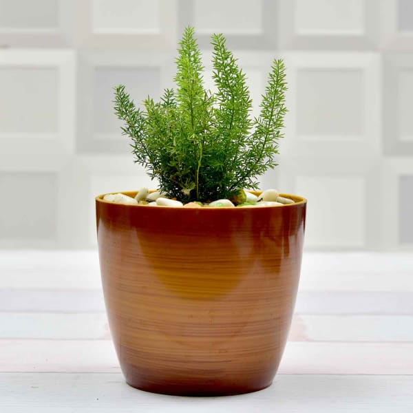 Vibrant Airpurifying Asparagus Ferns Plant (More Light/More Water)
