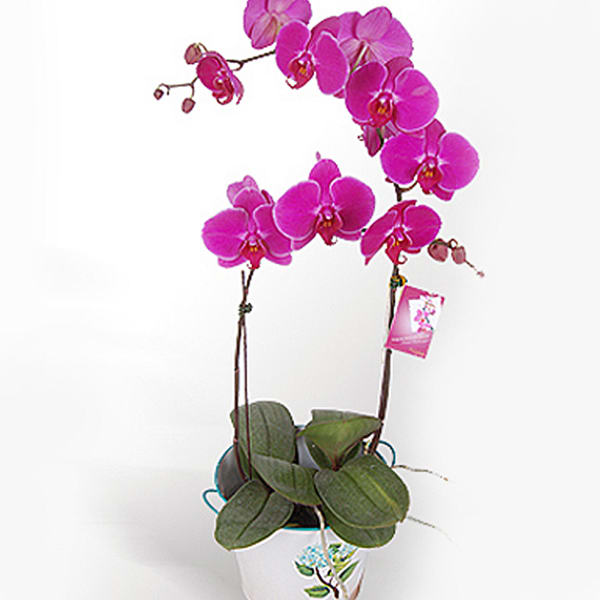 WHITE PHALAENOPSIS POTTED ORCHID - FRESH LIVE ORCHID