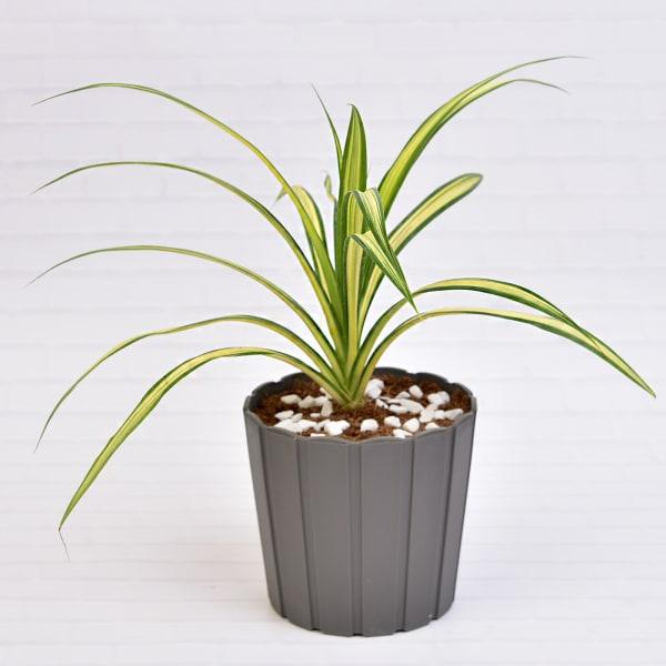 Wonderful Golden Milky Dracaena Pendenese Plant (More Light/More Water)