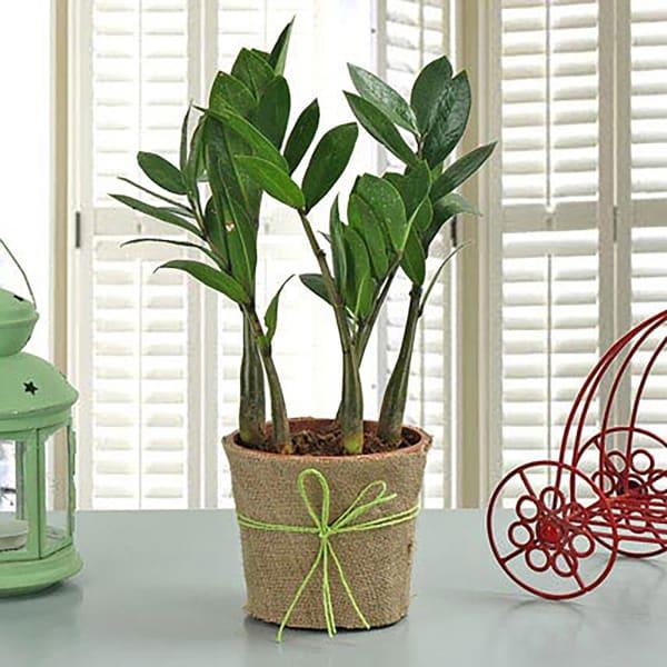 Zamia Plant