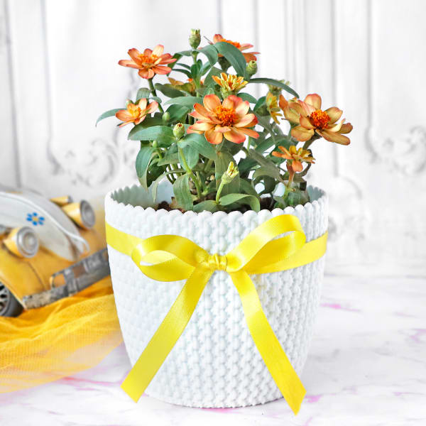 Zinnia Flower Plant in Textured Plastic Planter
