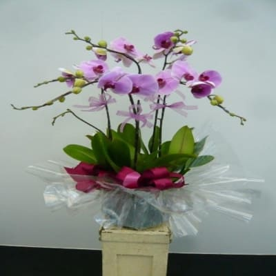 5 Stems Orchid Plant