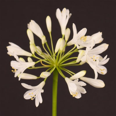 Agapanthus Polar Ice (Bunch of 10)