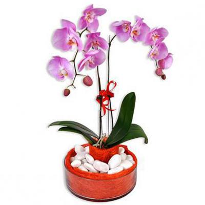 Al Bajara - Phalaenopsis Live Orchid
