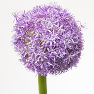 Allium Globemaster (Bunch of 5)