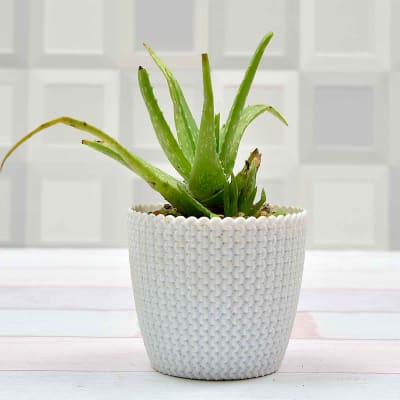 Aloevera Air Purifying Plant