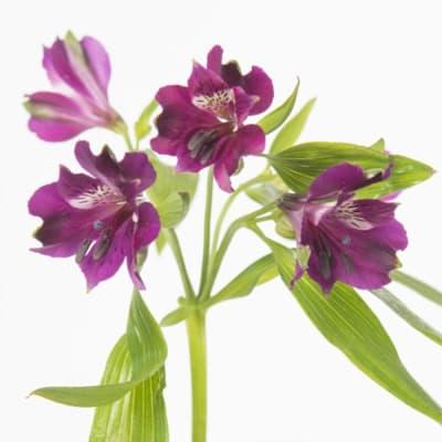 Alstroemeria Carline (Bunch of 10)
