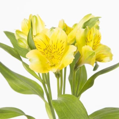 Alstroemeria Gold (Bunch of 10)