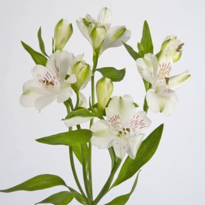 Alstroemeria Virginia (Bunch of 10)