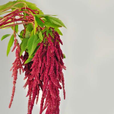 Amaranthus Rosary (Bunch of 5)