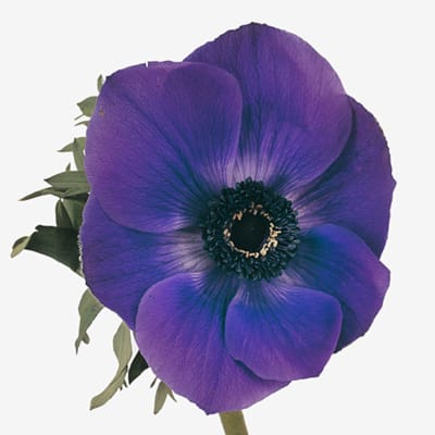 Anemone Galil Blue (Bunch of 10)