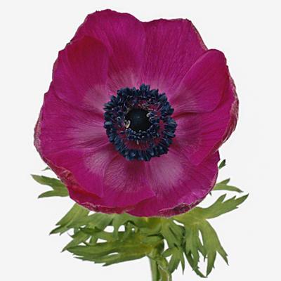 Anemone Galil Purple (Bunch of 10)