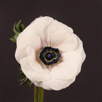 Anemone Galil White (Bunch of 10)