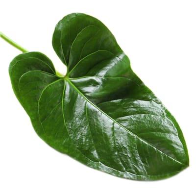 Anthurium Leaf (Bunch of 10)
