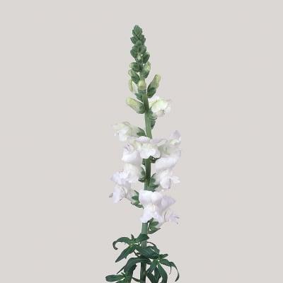 Antirrhinum Monaco White (Bunch of 10)