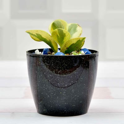 Appealing Airpurifying Peperomia Plant (Medium Light/Moderate Water)