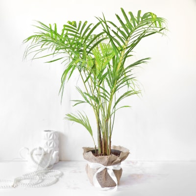 Areca Palm in Jute Wrapping with Plastic Planter