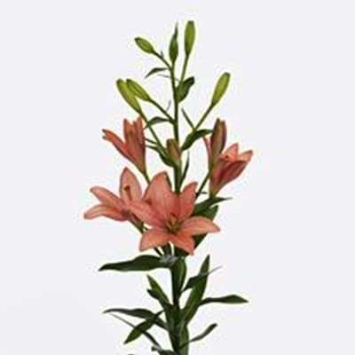 Asiatic Lilium Pink Cocotte (Bunch of 10)